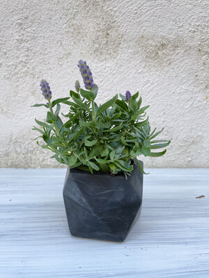 House Raccoon | Palua pot with plant Lavandula Hidcote Blue - Black marble (plant included!) 6cm