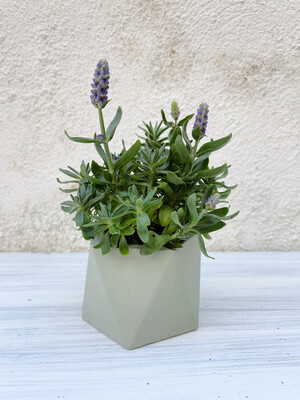 House Raccoon | Mare pot with plant Lavandula Hidcote Blue - Olive green (plant included!) 6cm