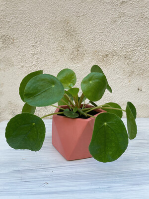 House Raccoon | Palua pot with Pilea plant - Pomegranate red (plant included!) 10cm