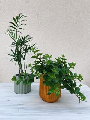 Kinta | Pot with plant Peperomia rotundifolia - Pumpkin orange (plant included!)