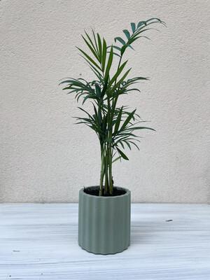 House Raccoon | Mila pot with plant hamaedorea elegans - Olive green (plant included!) 6cm