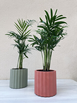 House Raccoon | Mila pot with plant hamaedorea elegans - Pomegranate Red (plant included!) 6cm