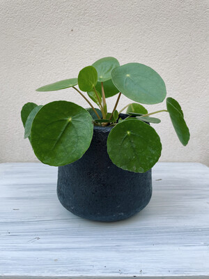 Kinta | Pot recycled wood and paper pulp black with Pilea plant