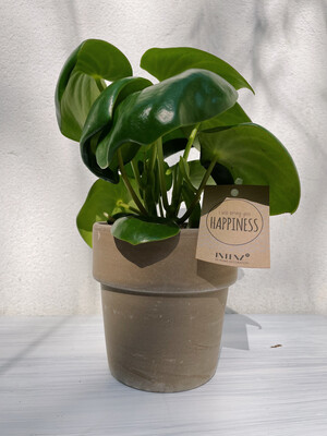 Intenz | Happiness peperomia raindrop plant in brown stone pot