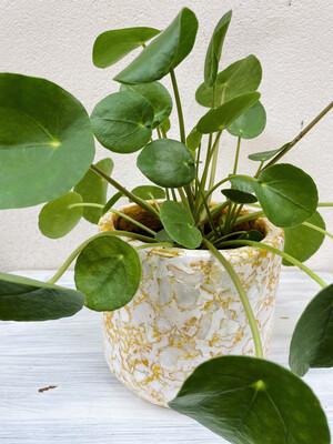Kinta   Plant Pot Capiz Pulp Mustard Yellow with Pilea Plant - 15cm