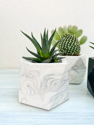 House Raccoon | White Marble Palua pot with Bambino Plant Sukkulente (plant included!) 6cm