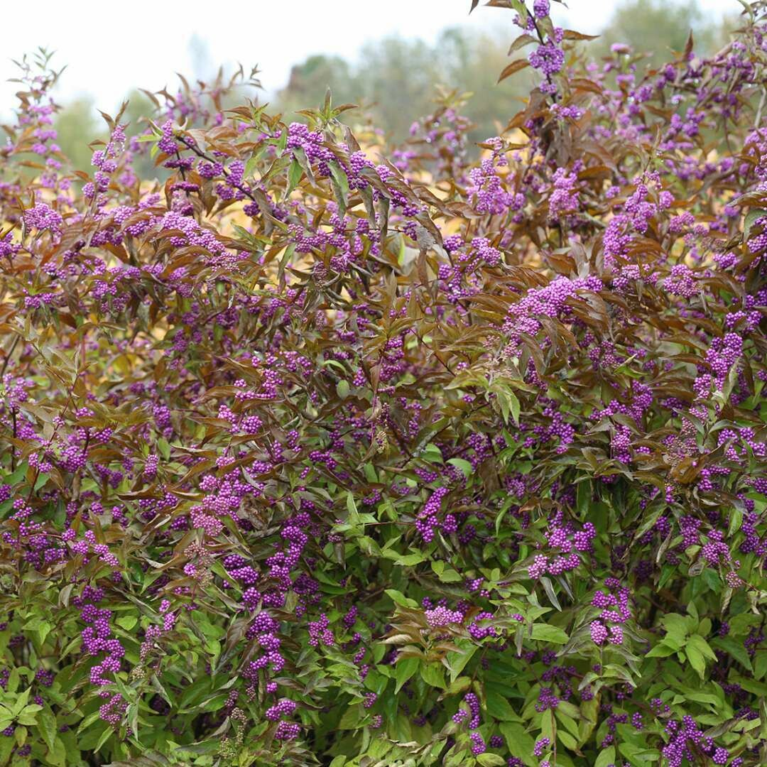 "Beautyberry: Callicarpa 'Early Amethyst', 4"" pot"