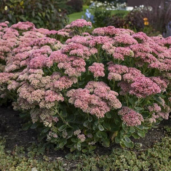 Autumn Stonecrop: Sedum, 'Autumn Joy' gallon pot