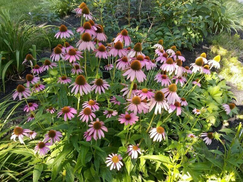 Coneflower: Echinacea 'Bravado'  3 1/8