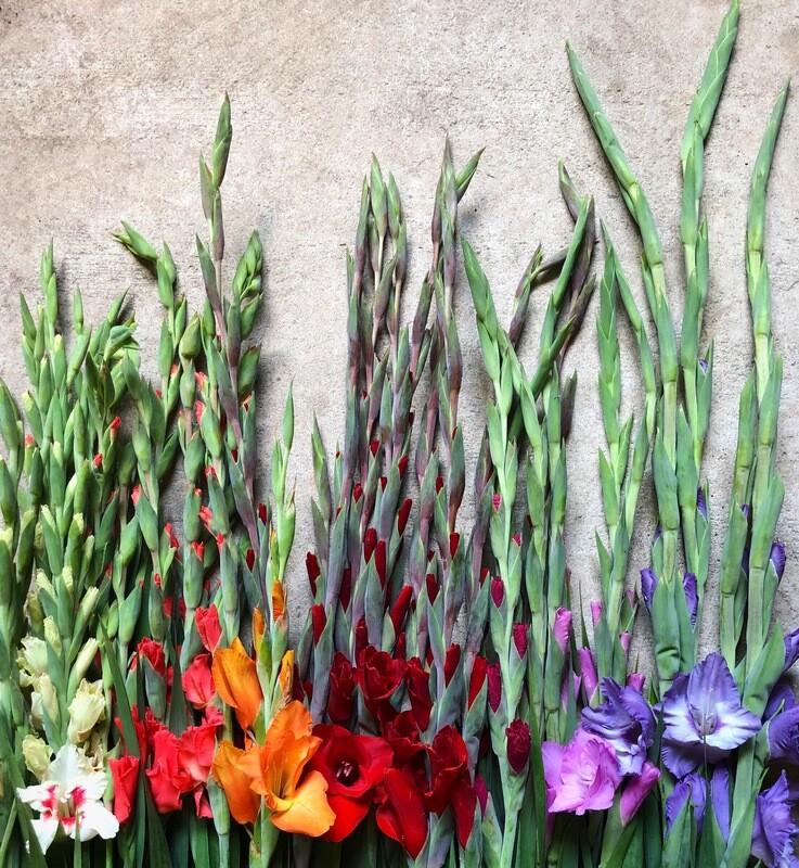 Gladiola Bulbs, bag of 10 size 1 Pastel Shade bulbs