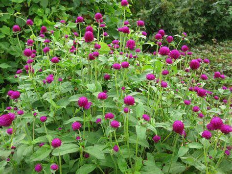 "Globe Amaranth: Gomphrena QIS Purple 2 1/3"" Eco Pot"