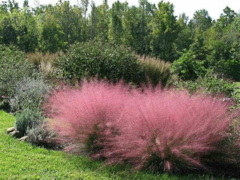 Pink Muhly Grass:  Muhlenbergia Capillaris 3 1/8