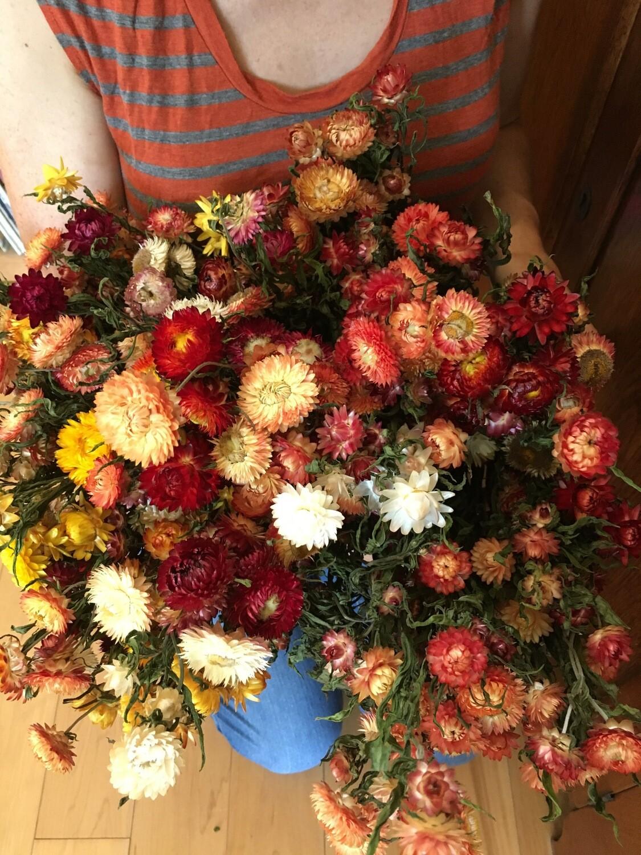 "Strawflower:  Bracteantha bracteata Mixed Colors 2 1/3"" Eco Pot"