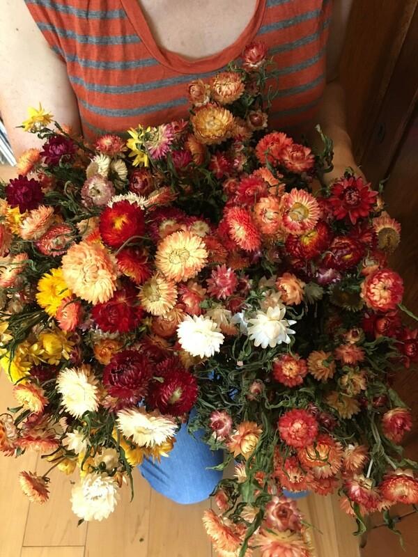 Strawflower:  Bracteantha bracteata Mixed Colors 2 1/3