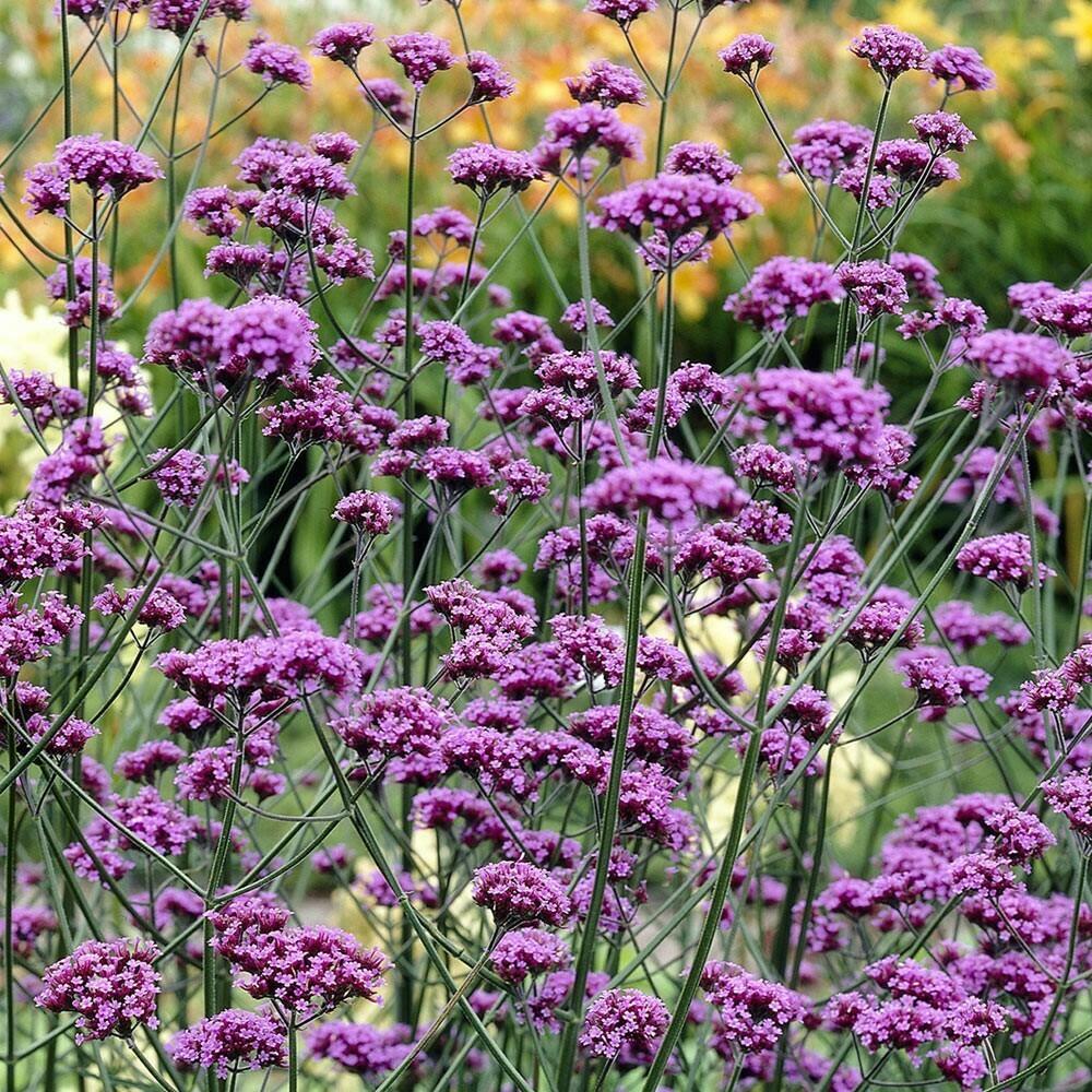 """Verbena bonariensis 4"""" Eco Pot"""