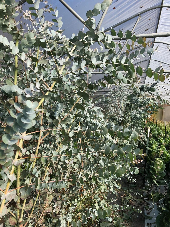 "Eucalyptus Pulvarenta 'Baby Blue Spiral' 3 1/2"" Pot"