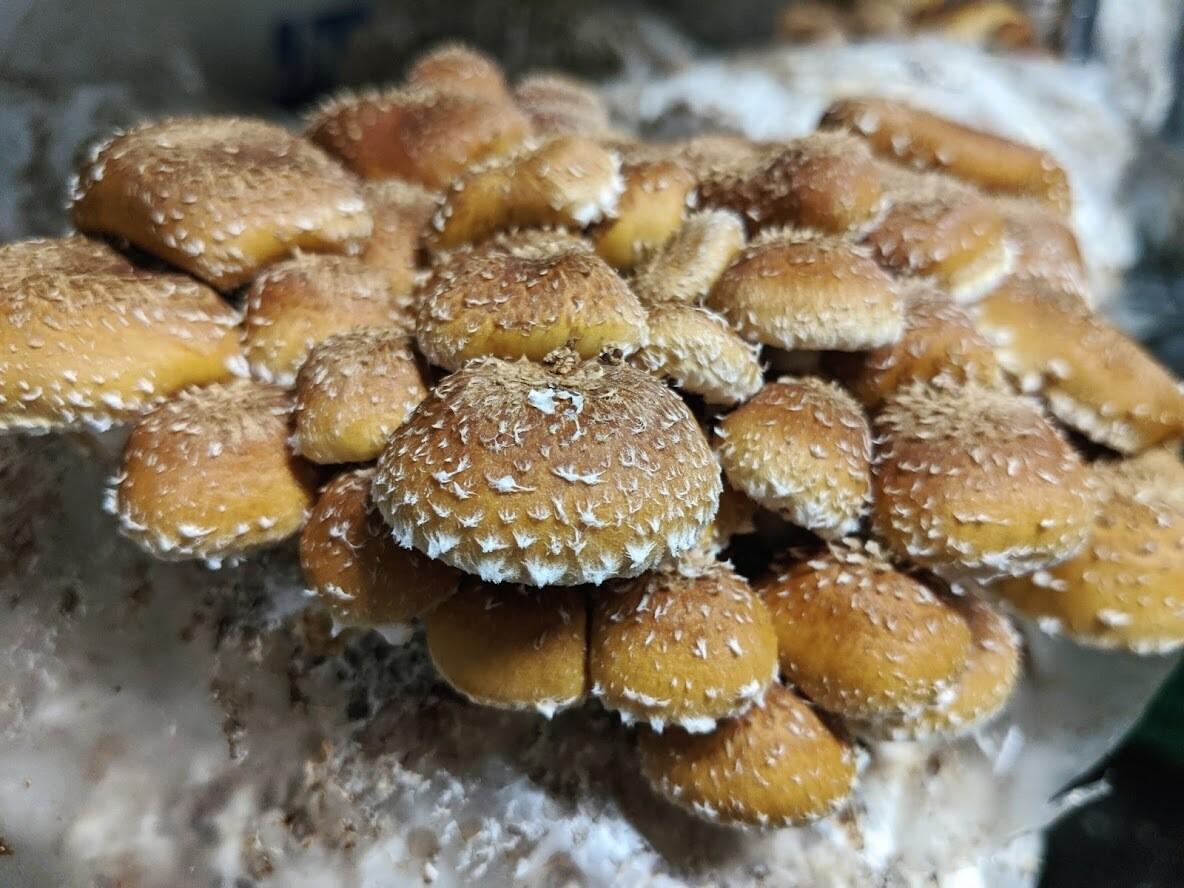 Chestnut Mushrooms (0.5 lb) - Vitruvian Farms