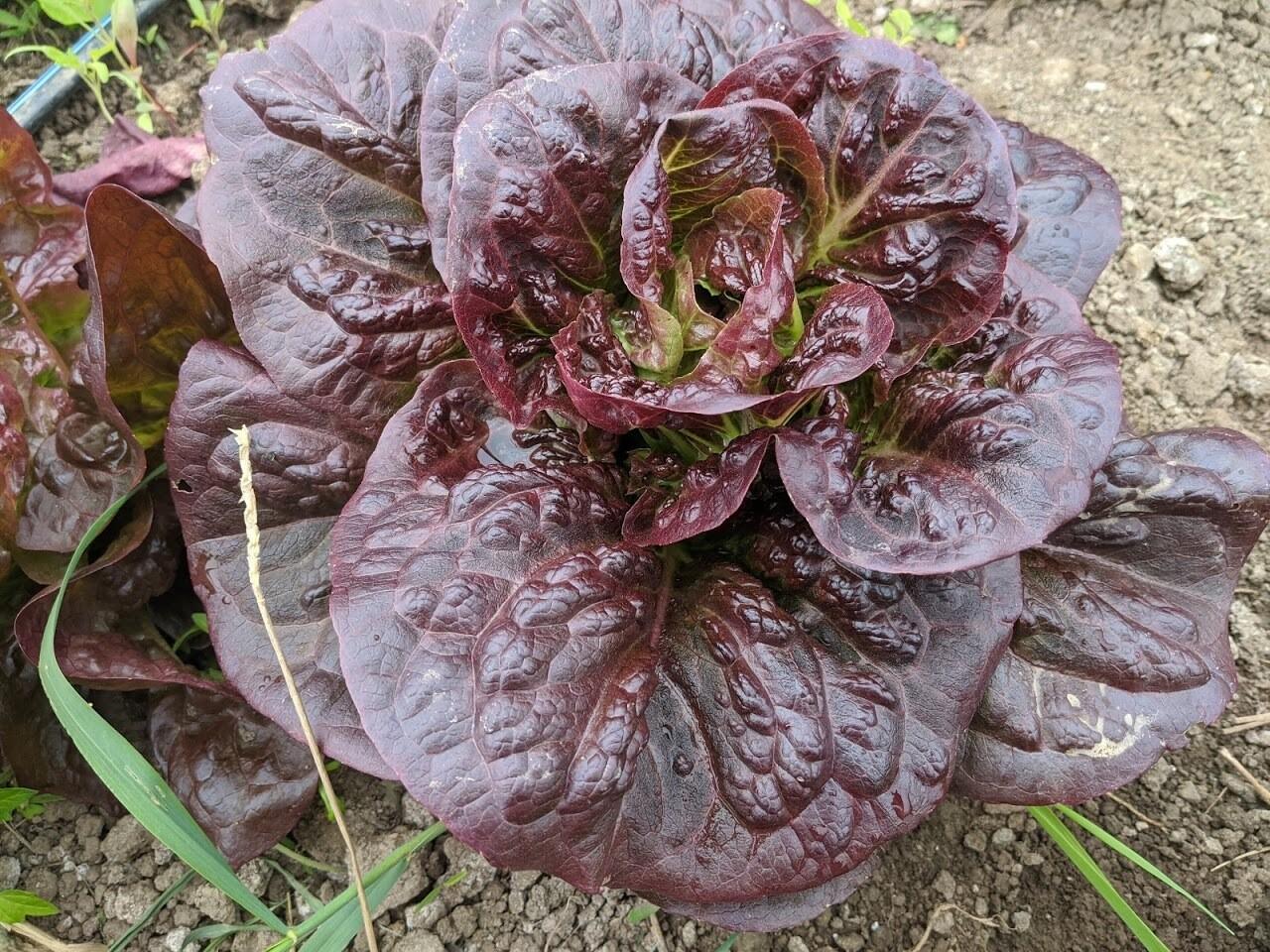 Gem Lettuce - Vitruvian Farms