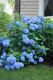 HYDRANGEA, NANTUCKET BLUE- 3 GALLON