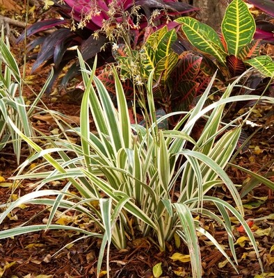 DIANELLA, VARIEGATED FLAX LILY- 3 GALLON