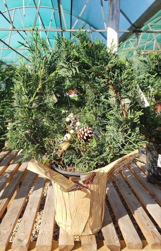 Leyland Cypress Wreath  1 Gallon