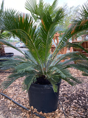 Palm, King Sago  5 Gallon