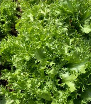 Endive and Lettuce