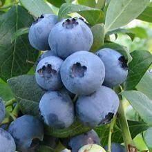 Blueberry Hefeweizen Growlers