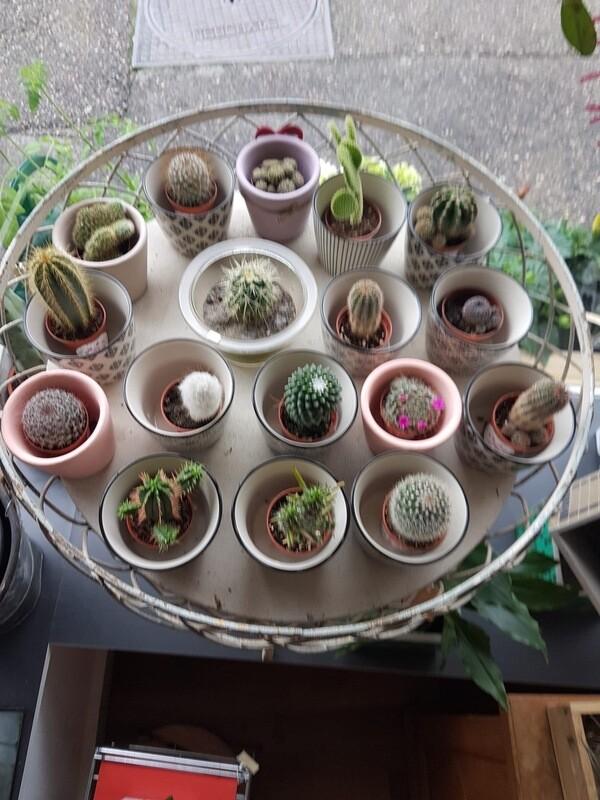 Mini Cactus divers