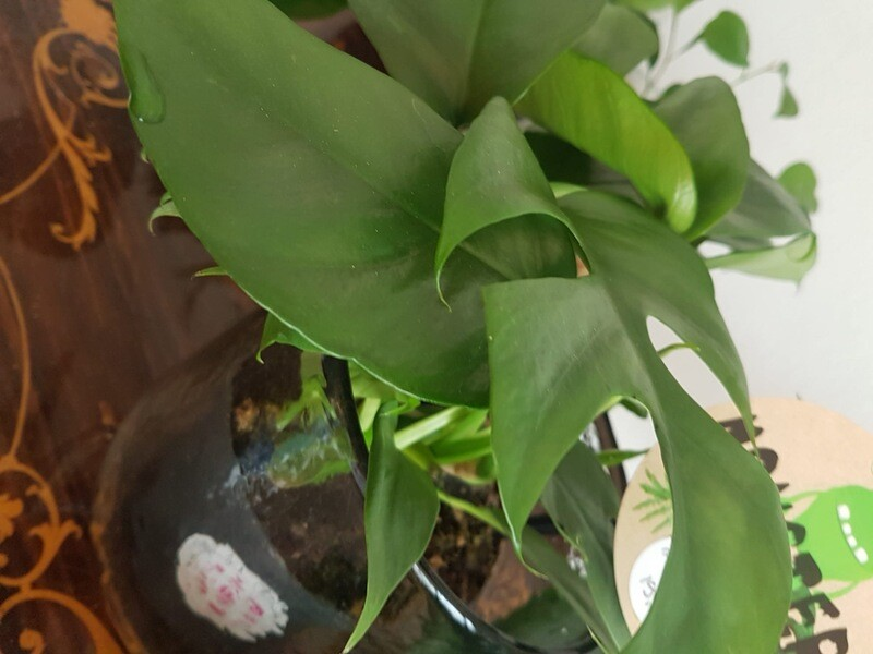 Philodendron Monstera Minima
