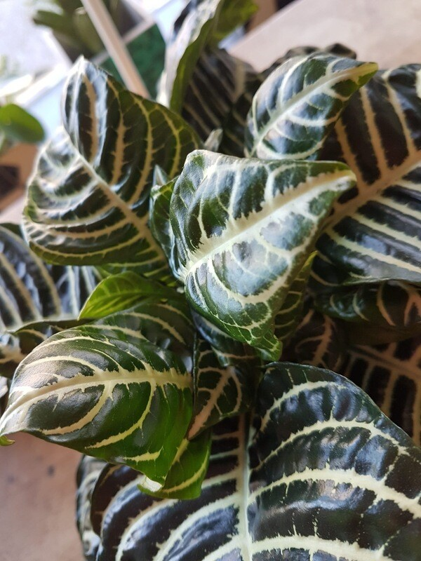 Aphelandra Botanica Green