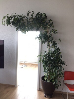 Schefflera arboricola en pot