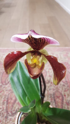 Orchidée pourpre sabot de venus