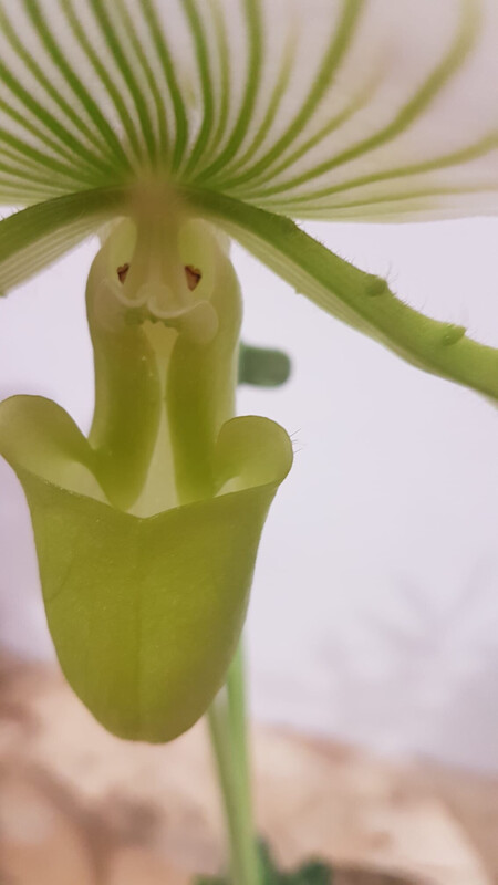Orchidée blanche sabot de Vénus