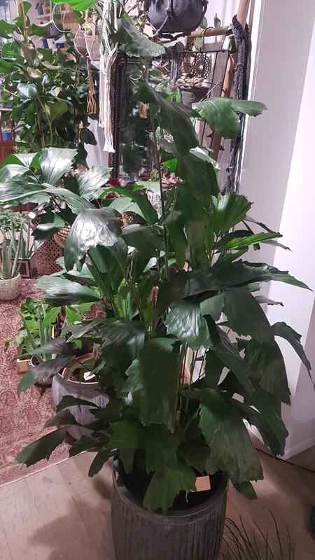 Caryota palmier queue de poisson