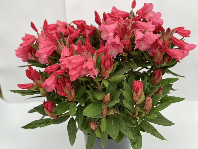Rhododendron Medium