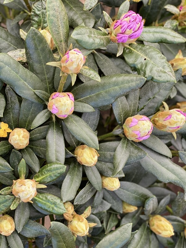 Rhododendron Large