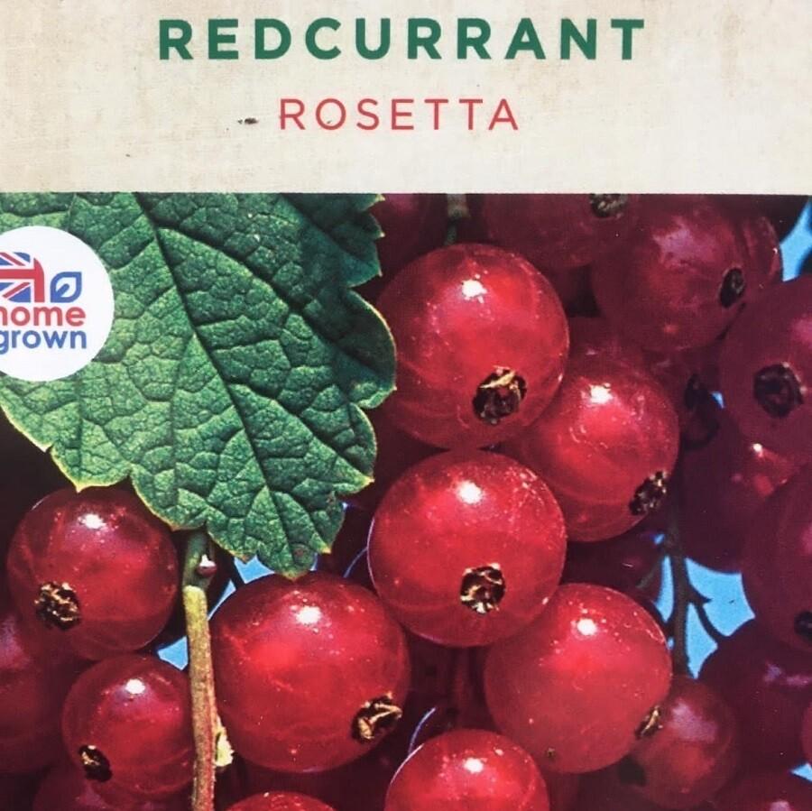 Redcurrant Rosetta 3L
