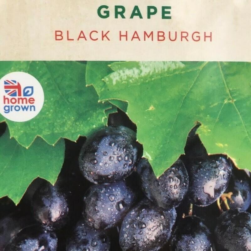 Grape Black Hamburg 3L