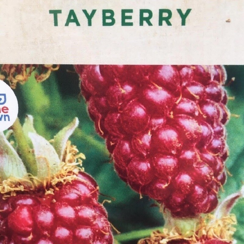 Tayberry Buckingham 3L