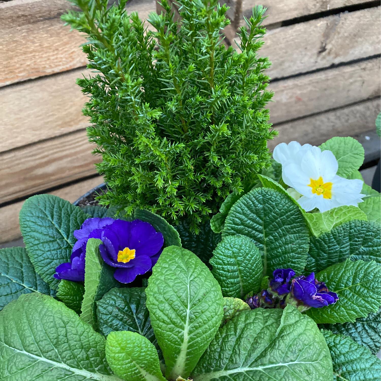 23cm Planted Patio Pot