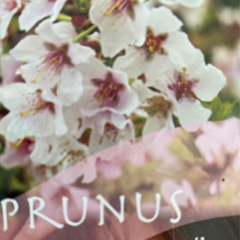 Prunus Kojou no Mai
