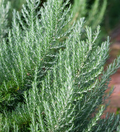 Herb Selection - Rosemary