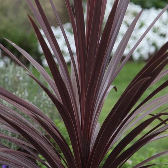 Cordyline Australis - Red Star