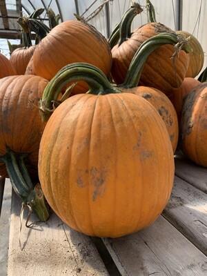 Med. Pumpkins