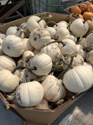 White Pumpkins - Small