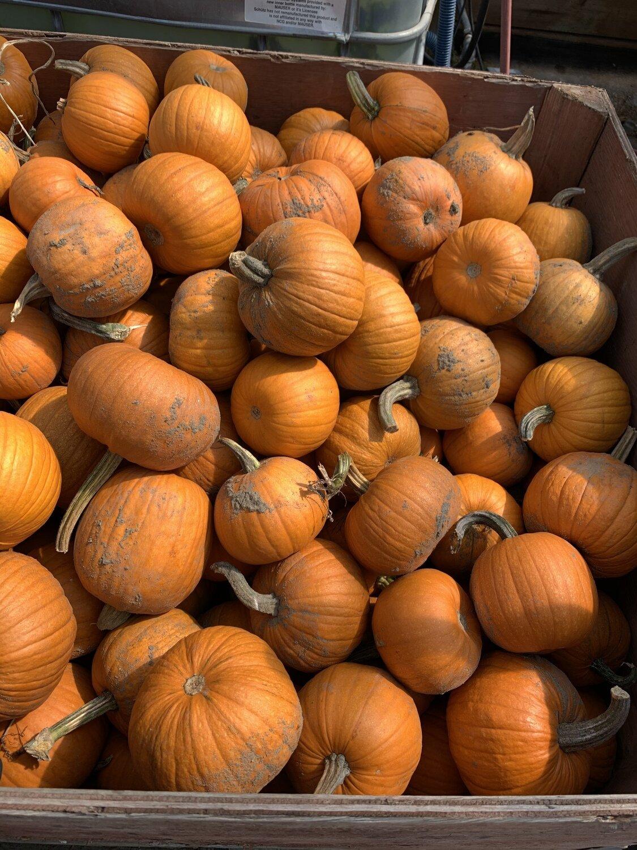 Orange Pie Pumpkins