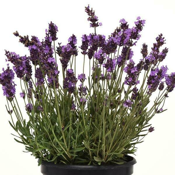 English Lavender - 6