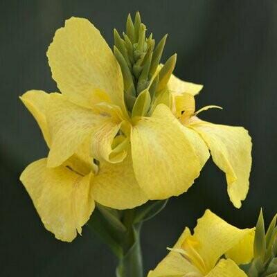 Canna Lily Yellow - 14