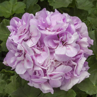 Geranium Light Lavender - Hanging Basket